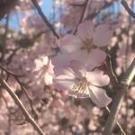 お花見ランで春の東京を行く 2016   ー上野公園・浅草寺・隅田公園・スカイツリー・錦糸公園編ー